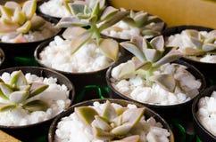 Små suckulentväxter i krukor med små vita stenar Decorati royaltyfri fotografi