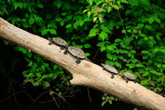 Små sumpsköldpaddor Arkivfoto