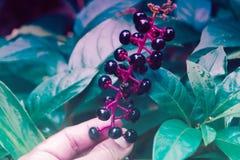 Små svarta fruitandgräsplansidor fjädrar naturbackgr Arkivbild