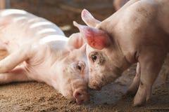 Små svin i lantgård Royaltyfri Bild