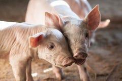 Små svin i lantgård Arkivfoton