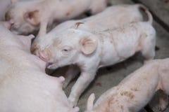 Små svin i lantgården Royaltyfri Foto