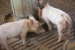 Små svin i lantgården Royaltyfria Bilder