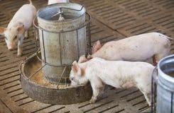 Små svin i lantgården Arkivfoto
