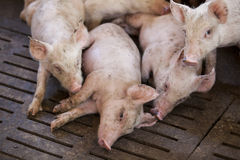 Små svin i lantgården Arkivbilder
