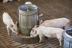 Små svin i lantgården Arkivfoton