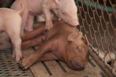 Små svin i lantgården Royaltyfri Bild