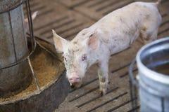 Små svin i lantgården Royaltyfri Fotografi