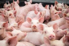 Små svin på lantgården, svin i stallen Köttbransch arkivfoton