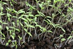 Små tomatväxter Arkivbild