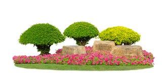 Små topiaryträd som beskär trädgården som isoleras på vit bakgrund, decroated av den gröna gula växten för sidafikusbuske, rosa b arkivfoto