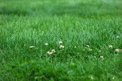Små tulpan i gräsfält Royaltyfria Foton