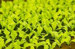 Små växter för grönsallat i Hydroponic kultur Royaltyfri Bild