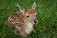 Små Vit-tailed hjortar Fotografering för Bildbyråer