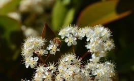 Små vita blommor för grupp med biet Royaltyfri Foto