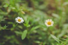 Små vita blommor i den naturliga trädgården Fotografering för Bildbyråer