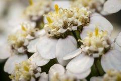 Små vita blommor i en trädgård Arkivfoton