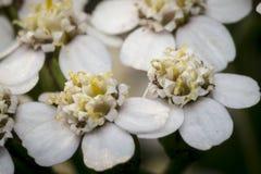Små vita blommor i en trädgård Arkivfoto