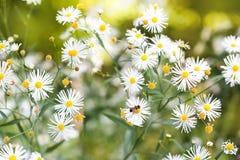Små vita blommor i trädgården Fält av hösttusenskönablommor äpplet clouds treen för sunen för naturen för blommaliggandeängen sla Royaltyfria Bilder