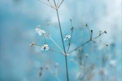 Små vita blommor med gula stamens på ett ljust - blå bakgrund Solens strålar faller på blommorna på en sommardag royaltyfri bild
