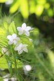 Små vita blommor som applicerar med boten, gör grön lövverk Arkivfoto