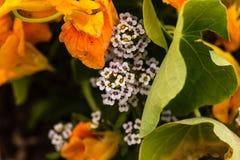 Små vita blommor som når en höjdpunkt ut från indiankrassarna Arkivbild