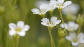 Små vita blommor som svänger i vinden Selektivt fokusera arkivfilmer