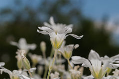 Små vita dekorativa blommor Royaltyfri Bild