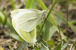 Små vita fjärilar som parar ihop,/Pierisrapae Arkivbilder