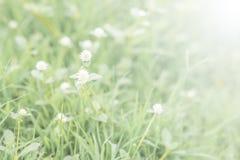 Små vita gräsblommor med gräsfältet gör suddig bakgrund Fotografering för Bildbyråer