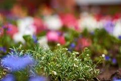 Små vita och rosa blommor med grön lövverk på den utomhus- soliga ljusa bakgrunden slapp blur royaltyfria foton