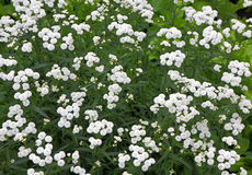 Små vita perenna buskeblommor Royaltyfri Fotografi