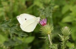Små vita rapae för en fjärilsPieris som nectaring på en tistel Royaltyfria Foton
