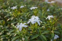 Små vita tropiska blommor på en grön filialnärbild på en suddig bakgrund royaltyfri bild