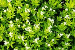 Små vita vårblommor som omges av gröna sidor royaltyfri fotografi