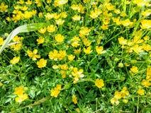 Småelakt blomma för smörblomma i de Juni strålarna av solen Arkivbilder