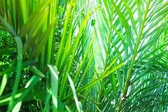 Småskog av palmträd med länge att dingla spetsiga sidor som bildar en naturlig modell Exotiska tropiska växter Ljus solljusviktig arkivfoton