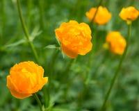 Smörblommaapelsin Fotografering för Bildbyråer