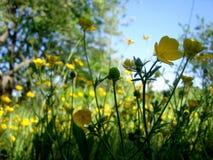 Smörblomman blommar på blom- äng mot en blå himmel royaltyfri fotografi