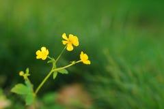 Smörblommor blommar fullständigt i vår royaltyfria bilder