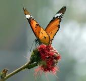 Smörfluga Arkivfoto