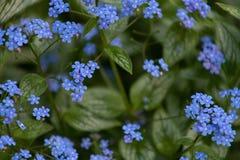 Sm? bl?a blommaBrunner macrophiles blommar p? v?ren tr?dg?rden royaltyfria bilder