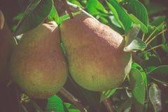 Små päron på filial Fotografering för Bildbyråer