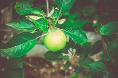 Små päron på filial Arkivbild