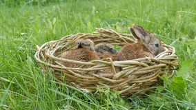 Sm? roliga newborns av gammal gr? kanin f?r vecka i ett handgjord rede eller korg av gn?ggandet p? gr?nt gr?s i sommar eller v?r stock video