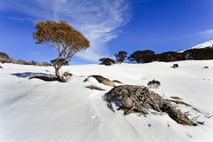 SM Snow Gum tree boulder roots Royalty Free Stock Image