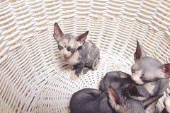 Små Sphynx kattungar som vilar inom korgen Arkivfoton