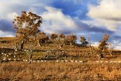 SM Thredbo valley sheeps Stock Photos