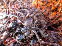 Smażący pająk obrazy royalty free