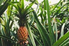 Smakelijke ananasinstallatie royalty-vrije stock foto